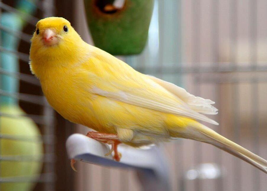 Какую птичку лучше завести в квартире